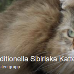 traditionella sibiriska katter