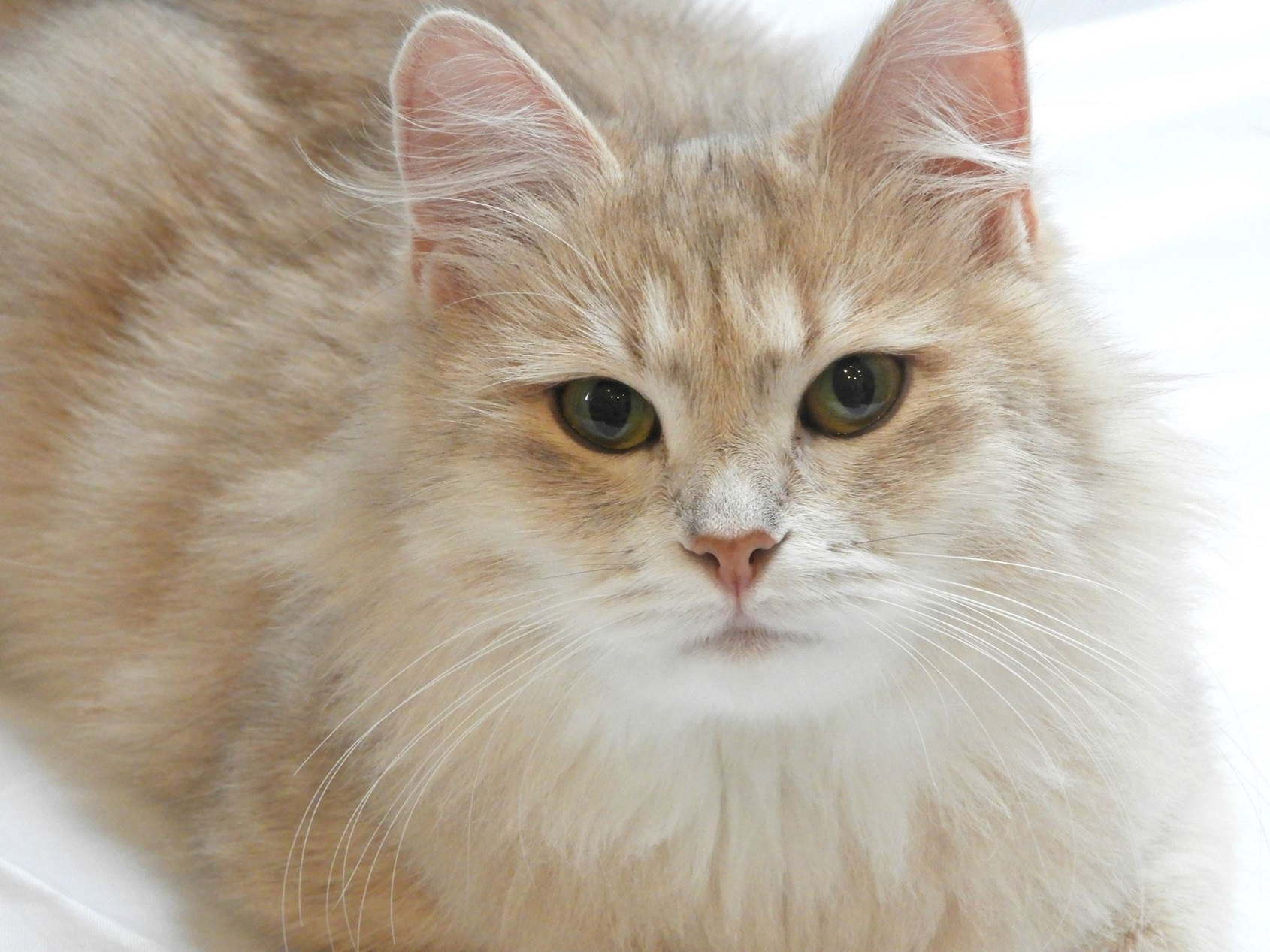 traditional siberian cats