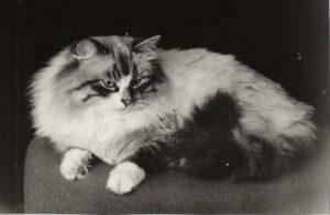 Sibirisk katt grupp 1-3