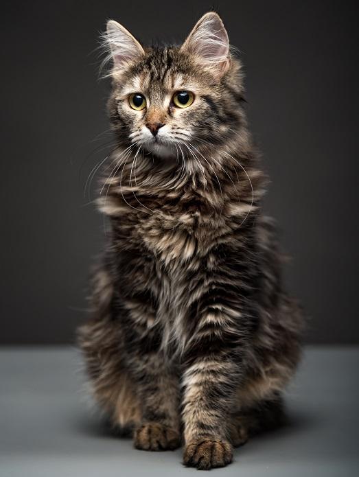 sibirisk katt tabby